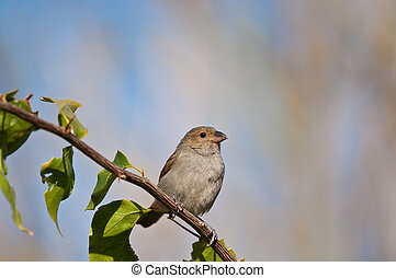 Female Lesser Antillean Bullfinch perched on a branch - A...