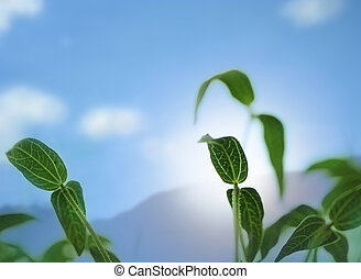 Bean sapling lit by sunlight with background sky - Young and...