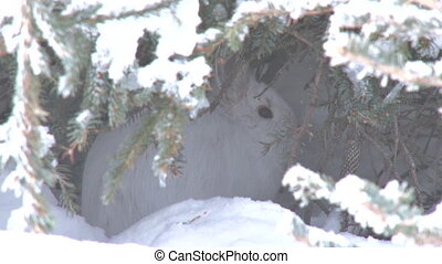 Snowshoe Hare in Snowy Hiding - A white bunny snowshoe hare...