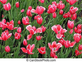 Kingston Pink tulips 2008