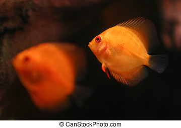 Two Orange Discus