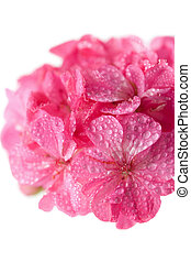 macro of pink geranium flowers with water droplets isolated