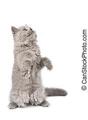 standign, C'est, haut, britannique, isolé, regarder, chaton,...