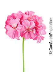 Cor-de-rosa,  geranium, flor, isolado