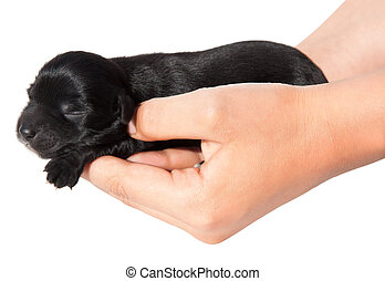 Hands holding  puppy - Hands holding black puppy