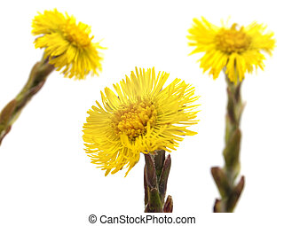 Colts Foot or Tussilago farfara on a white background