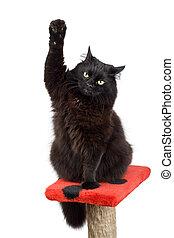 votación, negro, gato