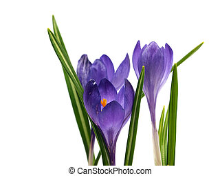 crocus flowers on a white background