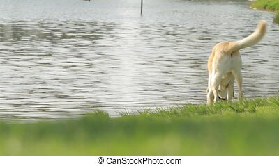 Labrador is on the lake in the park