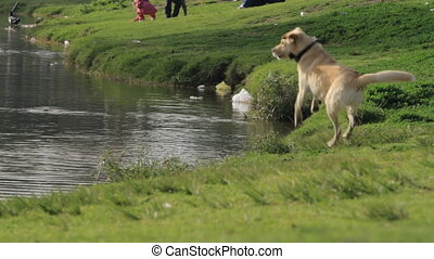 Labrador and doves - Labrador chases doves in the park on...