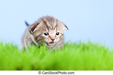 little tabby kitten Scottish meowing on green grass