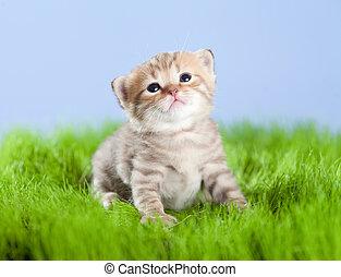 little tabby kitten Scottish looking upward on green grass