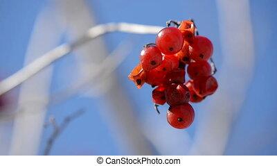 autumn viburnum berries