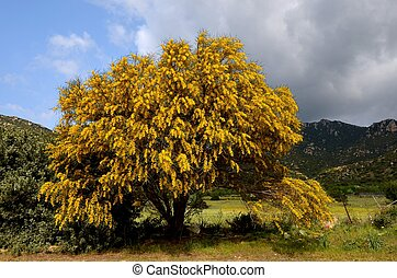 mimosa - magnificent tree of mimosa in Sardinia, Italy