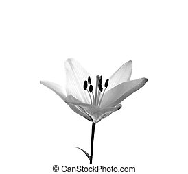 lily flower isolated white
