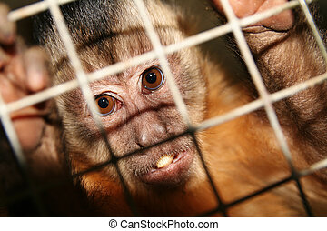 monkey zoo laboratory cage - monkey in zoo or laboratory in...