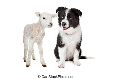 lamb and border collie pup in front of a white background