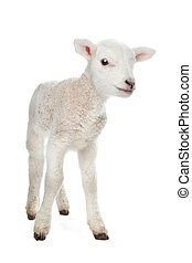 Lamb - Few days old Lamb standing in front of a white...