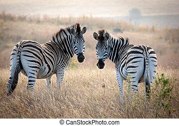 Zebras looking back - Two Zebras looking back