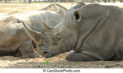 Rhinoceros in safari in the spring in Israel