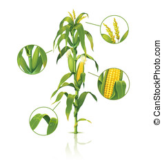 Corn stalk. - Encyclopedic vector illustration of corn...