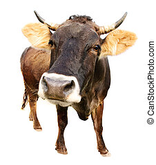 cow isolated - distorted brown cow isoalated on white...
