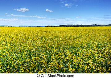 Canola or rapeseed cultivated field - Beautiful field of...