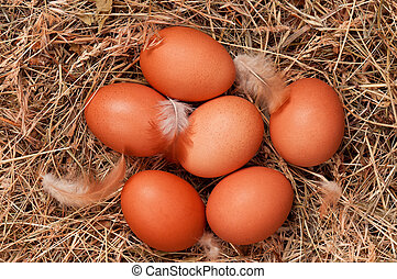 Eggs in nest - Fresh chicken eggs in the natural nest of hay