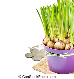 Fresh bulbs of Grape Hyacinth in a pot over white