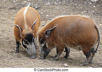 Red river hog - details of red river hog in captivity