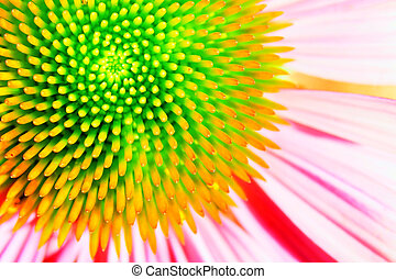 Neon echinacea or purple coneflower - Dramatic over the top...