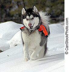 A Malamute in Winter - A Malamute with discoid lupus