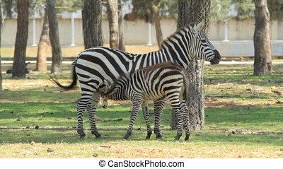 Zebra - Baby zebra feeding milk