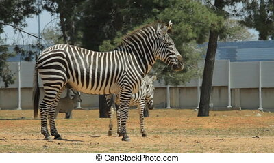 Zebra in a safari in Israel
