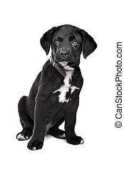 Mixed breed puppy. Great Dane, Rottweiler, in front of a...