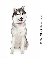 Siberian Husky in front of a white background
