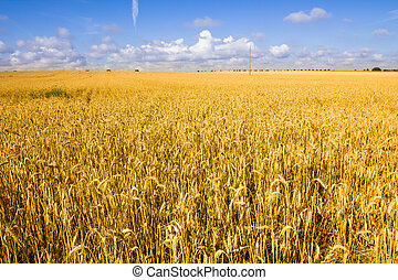 Golden wheat field and blue sky.