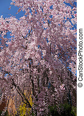 Spring bloom - Tree with beautiful cherry blossom