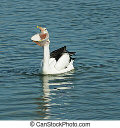 Pelican big mouth - White pelican on blue water with big...