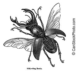 Stag Beetle Isolated on White - This vintage engraved...