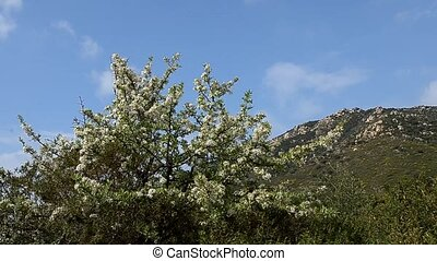 peach tree in flower