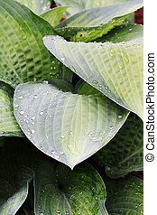 Hosta Abstract - Abstract of Hostas wet from a morning...