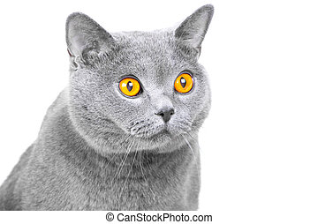 muzzle of young British blue cat on isolated white