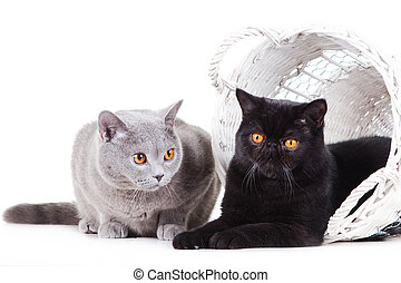 British blue and Black Persian cats playing on isolated...