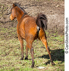 Horse peeing - A horse is peeing at the field