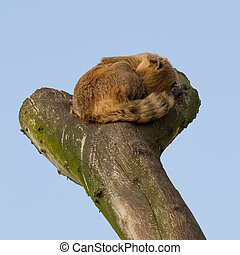 A coatimundi is sleeping in a tree