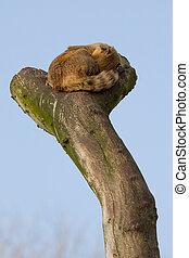 A coatimundi is sleeping in a tree