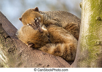 Two coatimundis are sleeping in a tree