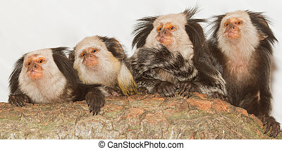 Four Geoffroys Tufted-eared Marmosets in a dutch zoo