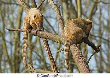 Two eating coatimundis in a tree (Holland)